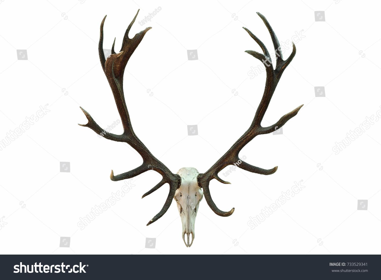 Huge Red Deer Skull Beautiful Antlers Stock Photo (Royalty Free ...