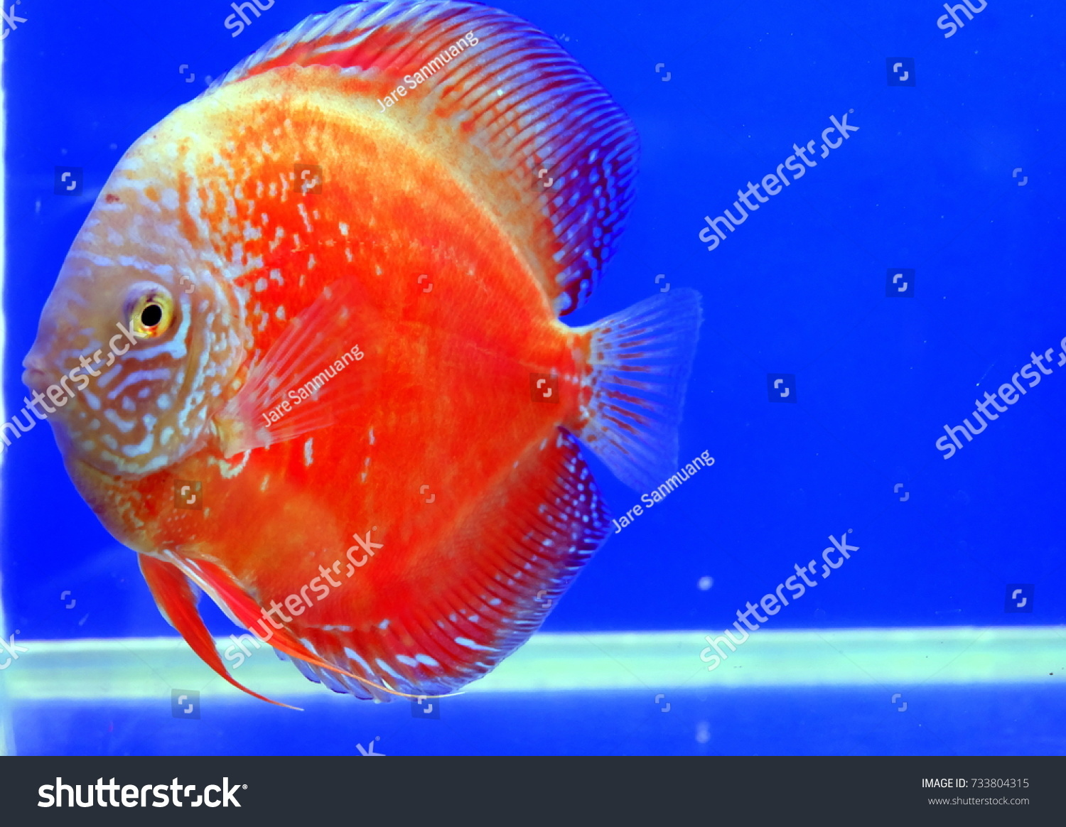 Discus Fish Colorful Freshwater Aquarium Blue Stock Photo (Royalty ...