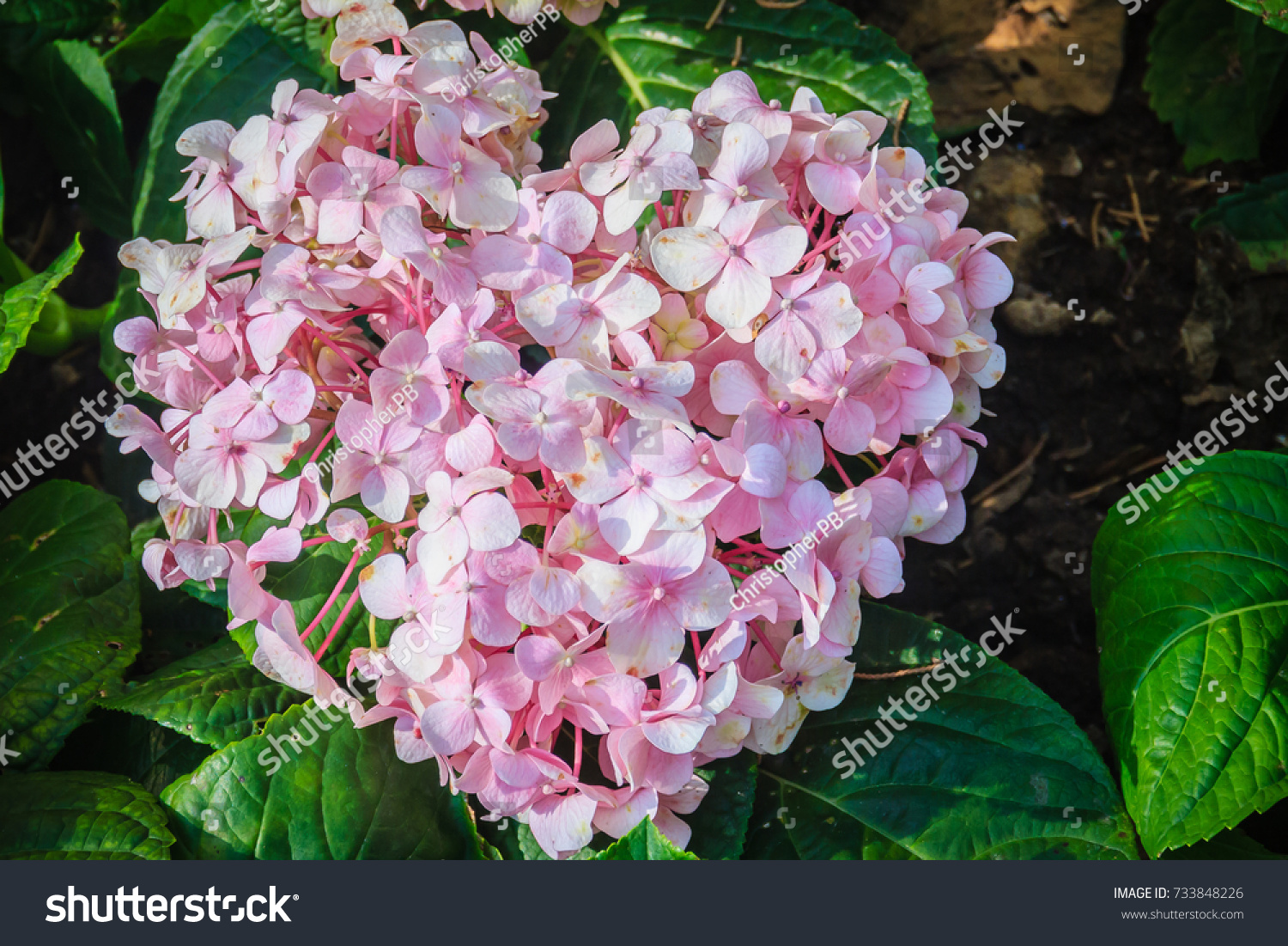 Pink Heart Shaped Hydrangea Macrophylla Flowers Stock Photo Image