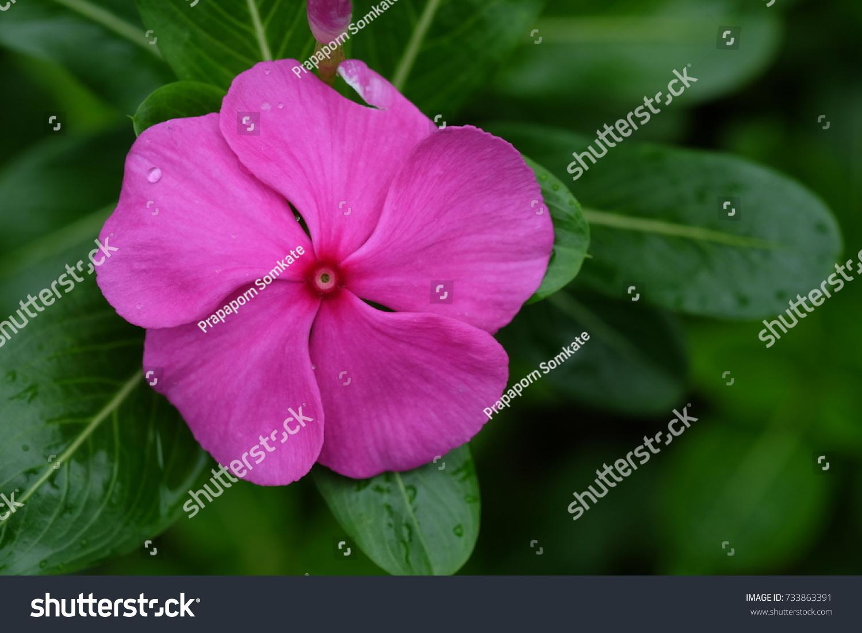 Pink Periwinkle Flower Garden Stock Photo Edit Now 733863391