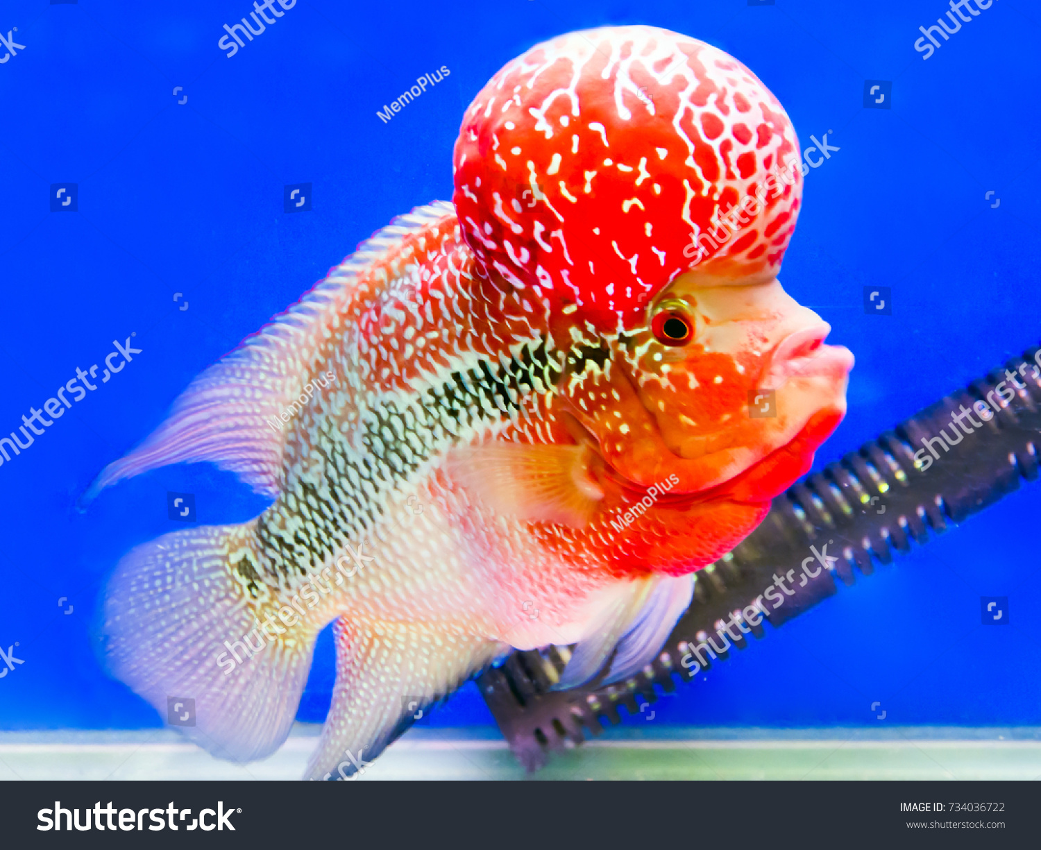 Flower Horn Fish Blue Aquarium Stock Photo (Royalty Free) 734036722 ...