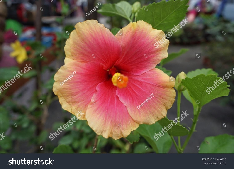 Beautiful hibiscus flower sale saturday market stock photo royalty beautiful hibiscus flower for sale in a saturday market in perak malaysia izmirmasajfo