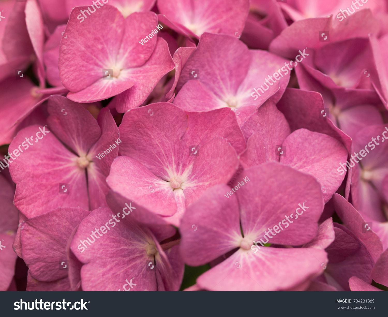 Dark Pink Geraniums Ez Canvas