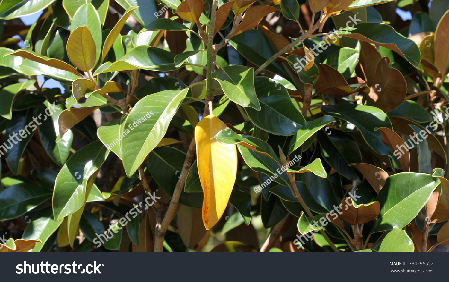 Autumn Colors On Magnolia Tree Photograph Stock Photo (Royalty Free ...