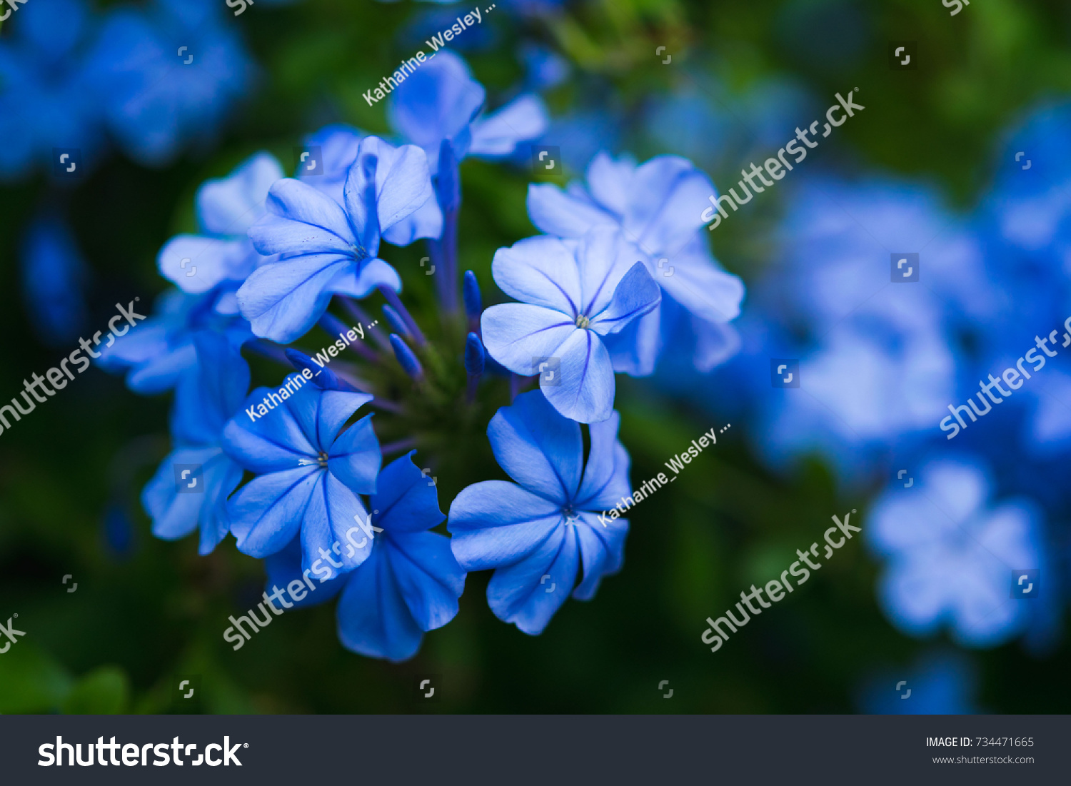 Plumbago auriculata bush blue flowers flower stock photo edit now plumbago auriculata bush blue flowers in a flower bush izmirmasajfo