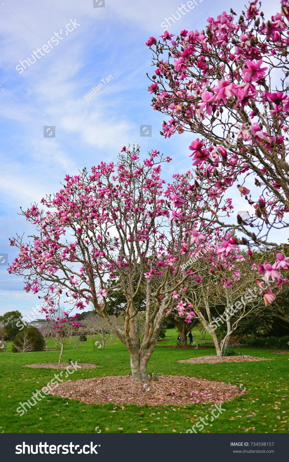 Magnolia Flowers Blooming Late Winter Botanic Stock Photo Edit Now