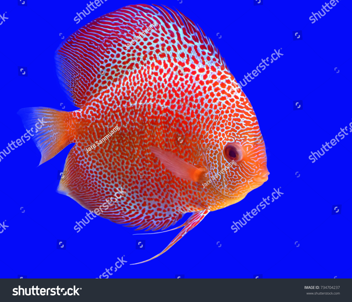 Discus Fish Colorful Blue Background Stock Photo 734704237 ...