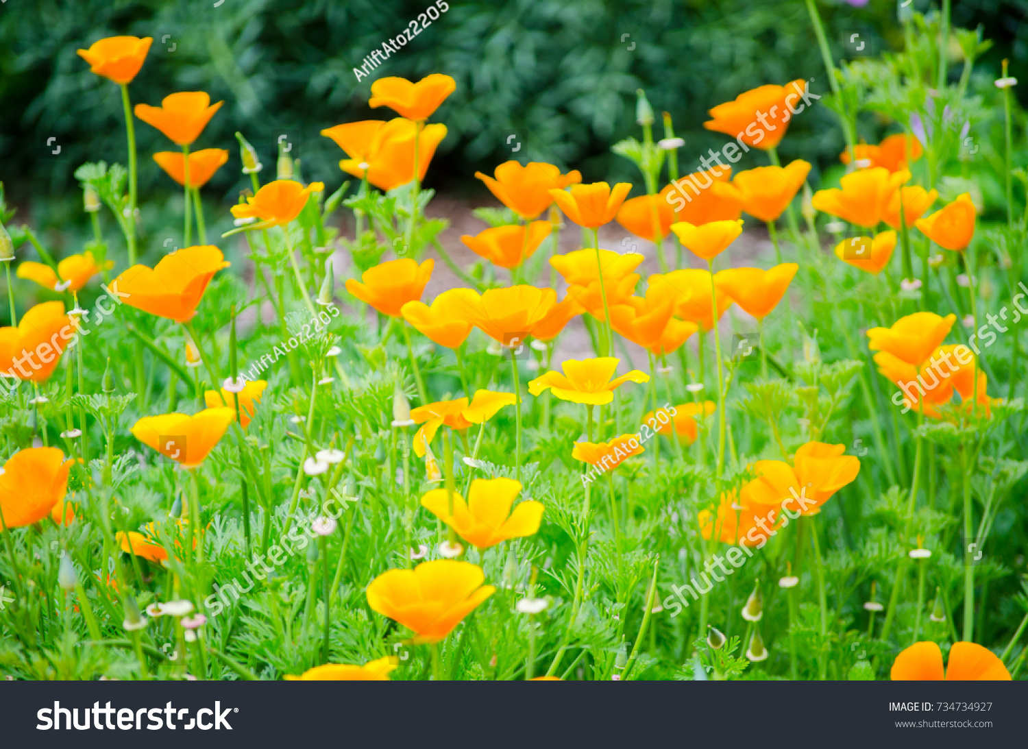Beautiful Orange Poppy Flowers Green Trees Stock Photo Edit Now