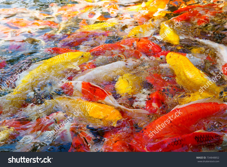 Multi Colored Fish Koi Fish Pond Stock Photo 734848852 - Shutterstock