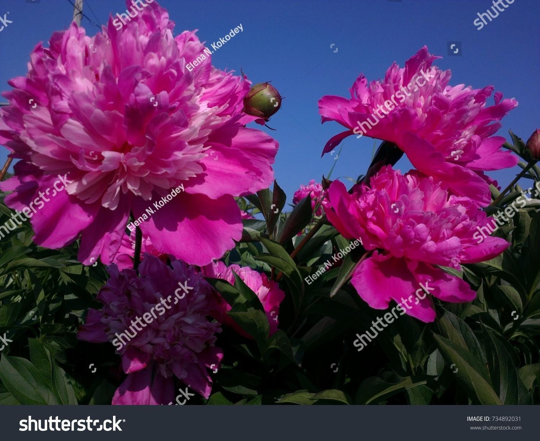 Large Crimson Flower Macro Pions Stock Photo Royalty Free