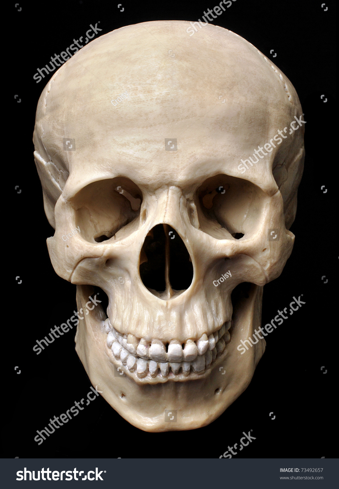 Human Skull Model Stock Shutterstock