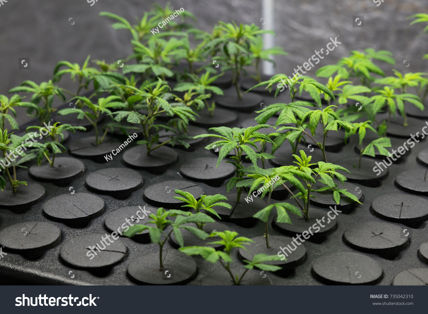 Young fresh cut cannabis clones in a… Stock Photo 735042310