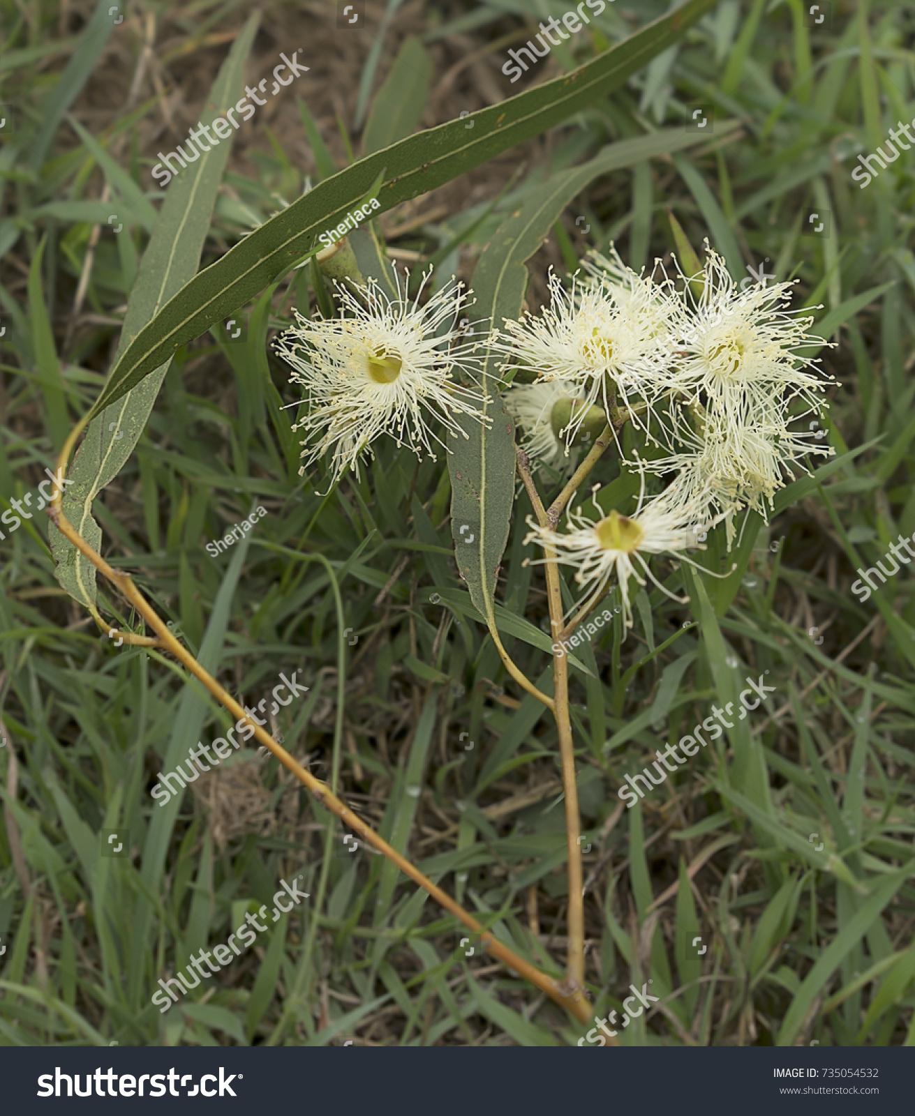 White Australian Native Flowers Lemon Scented Stock Photo Edit Now