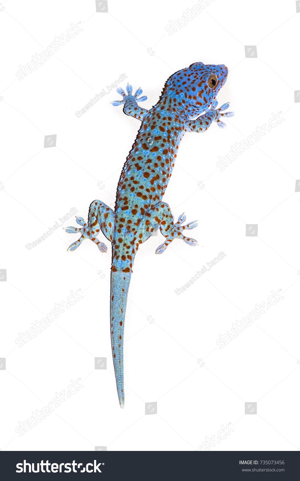 Hermosa Gecko Para Colorear Cresta - Dibujos Para Colorear En Línea ...
