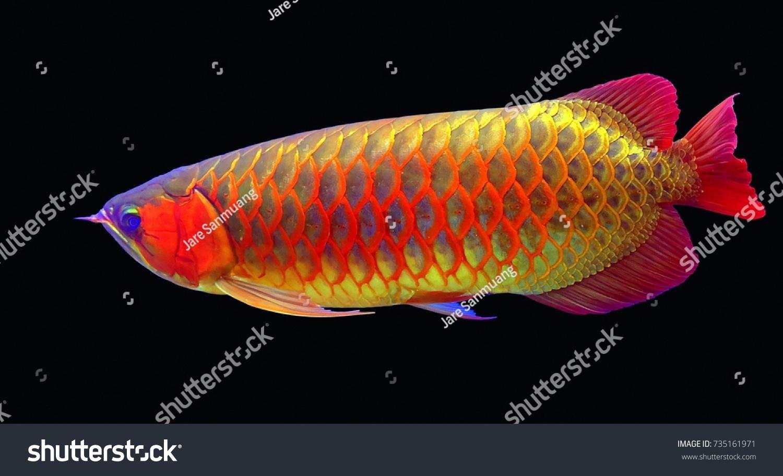 Asian Arowana Fish Black Background Stock Photo (Royalty Free ...