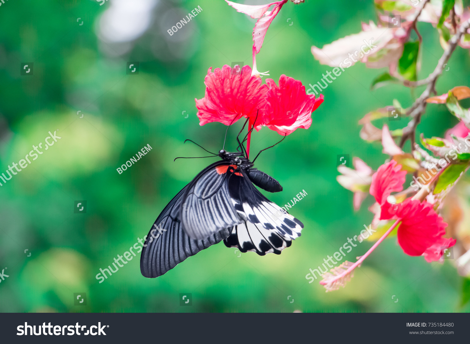 Colorful Butterfly Eating Nectar From Red Hibiscus Flower Ez Canvas