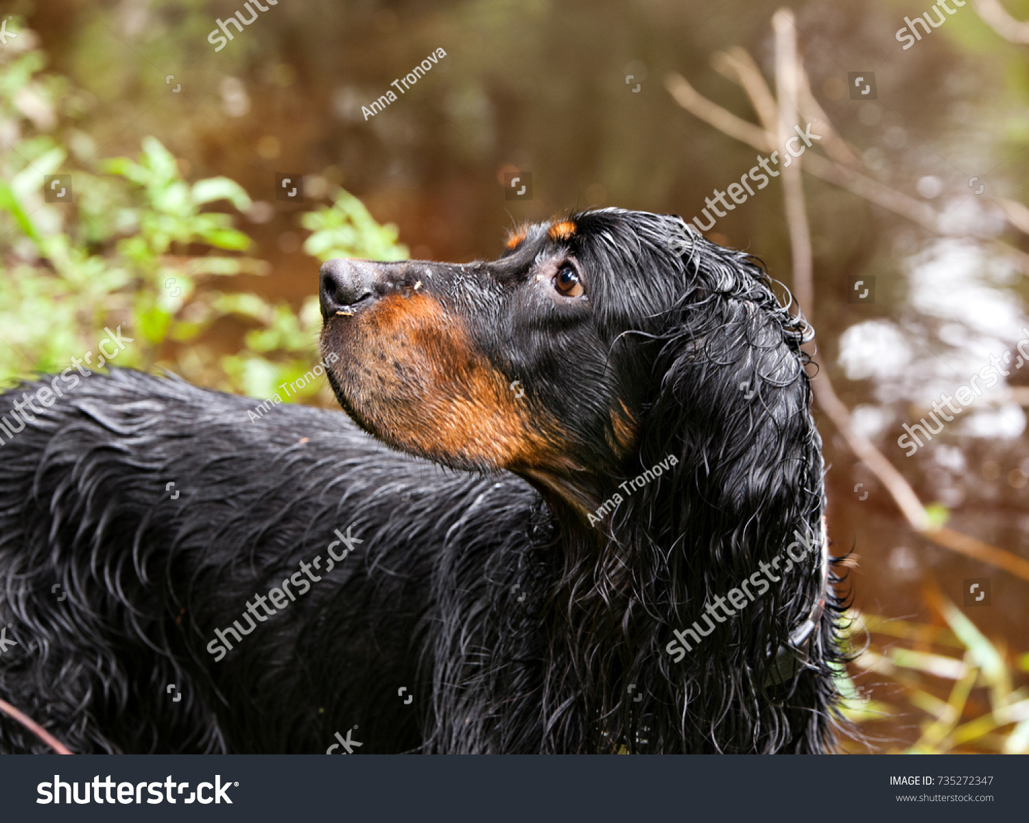 Dog breed Setter Gordon  after swimming on the river bank #735272347