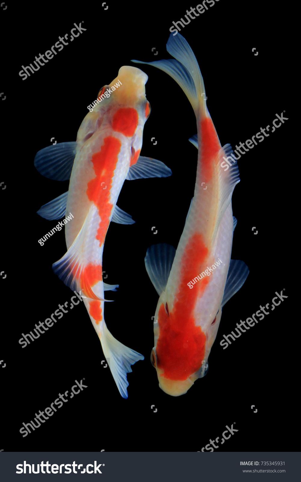 Colorful Fancy Carp Fish Koi Fish Stock Photo (Royalty Free ...