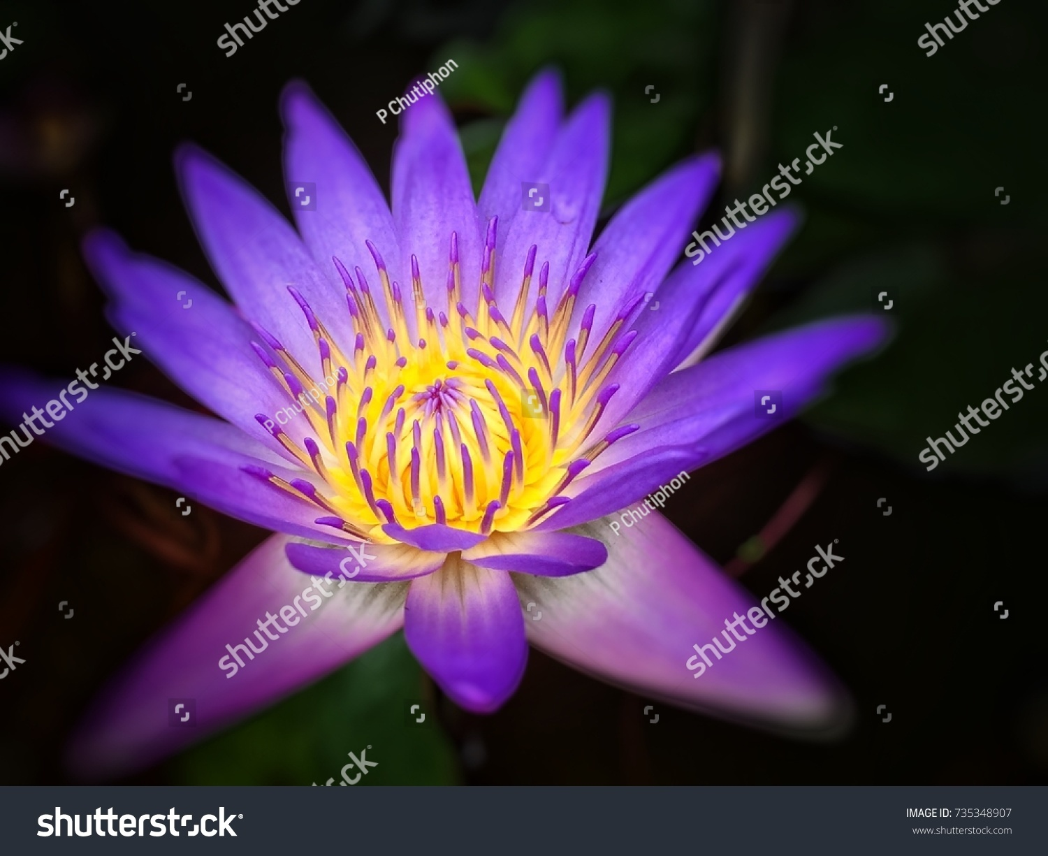 Purple Yellow Middle Lotus All Grate Stock Photo Edit Now