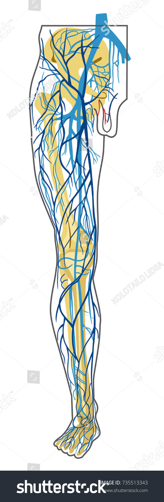 Human Anatomy Deep Superficial Leg Veins Stock Vector Royalty Free