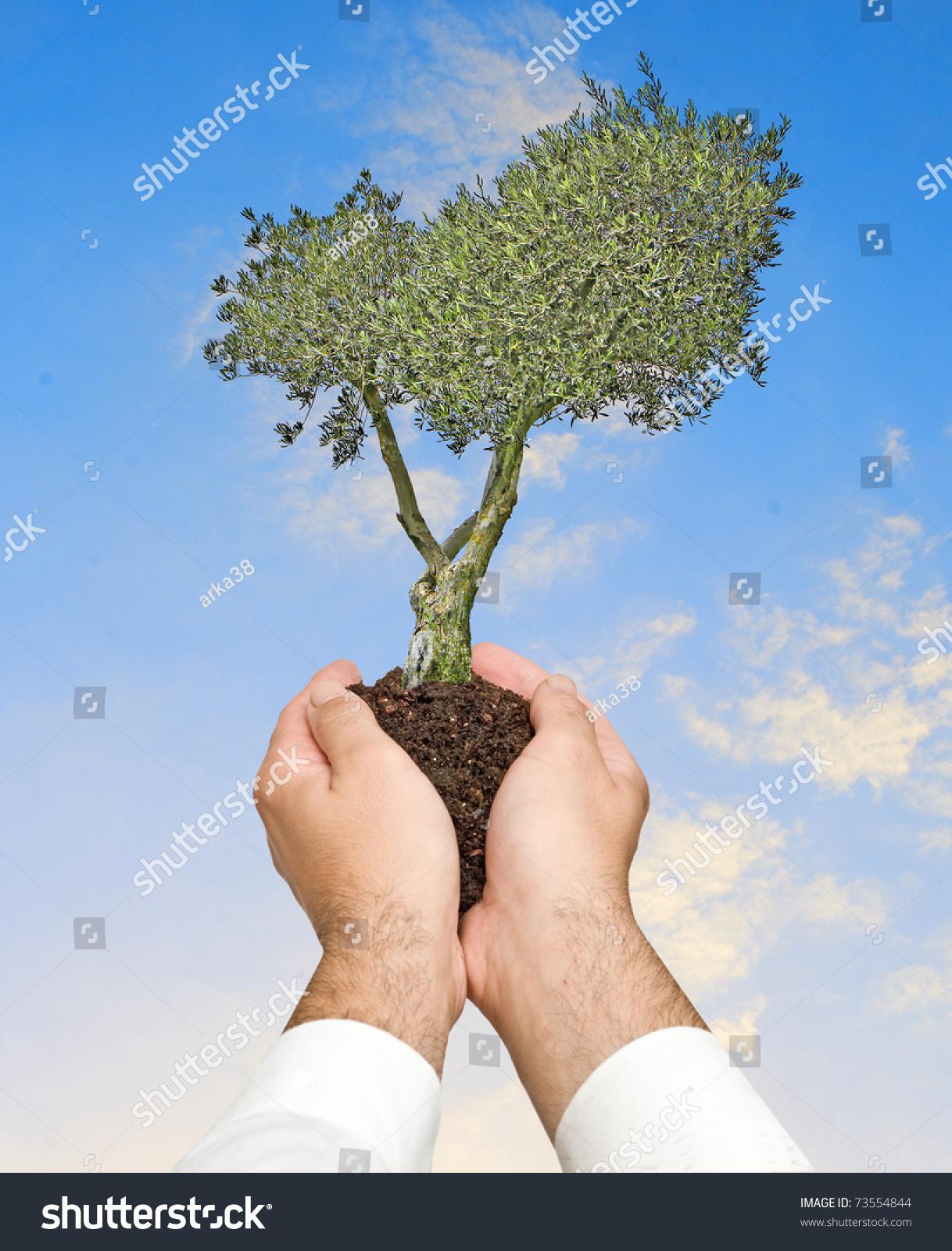 Olive tree hands symbol nature protection stock photo 73554844 olive tree in hands as a symbol of nature protection buycottarizona Choice Image