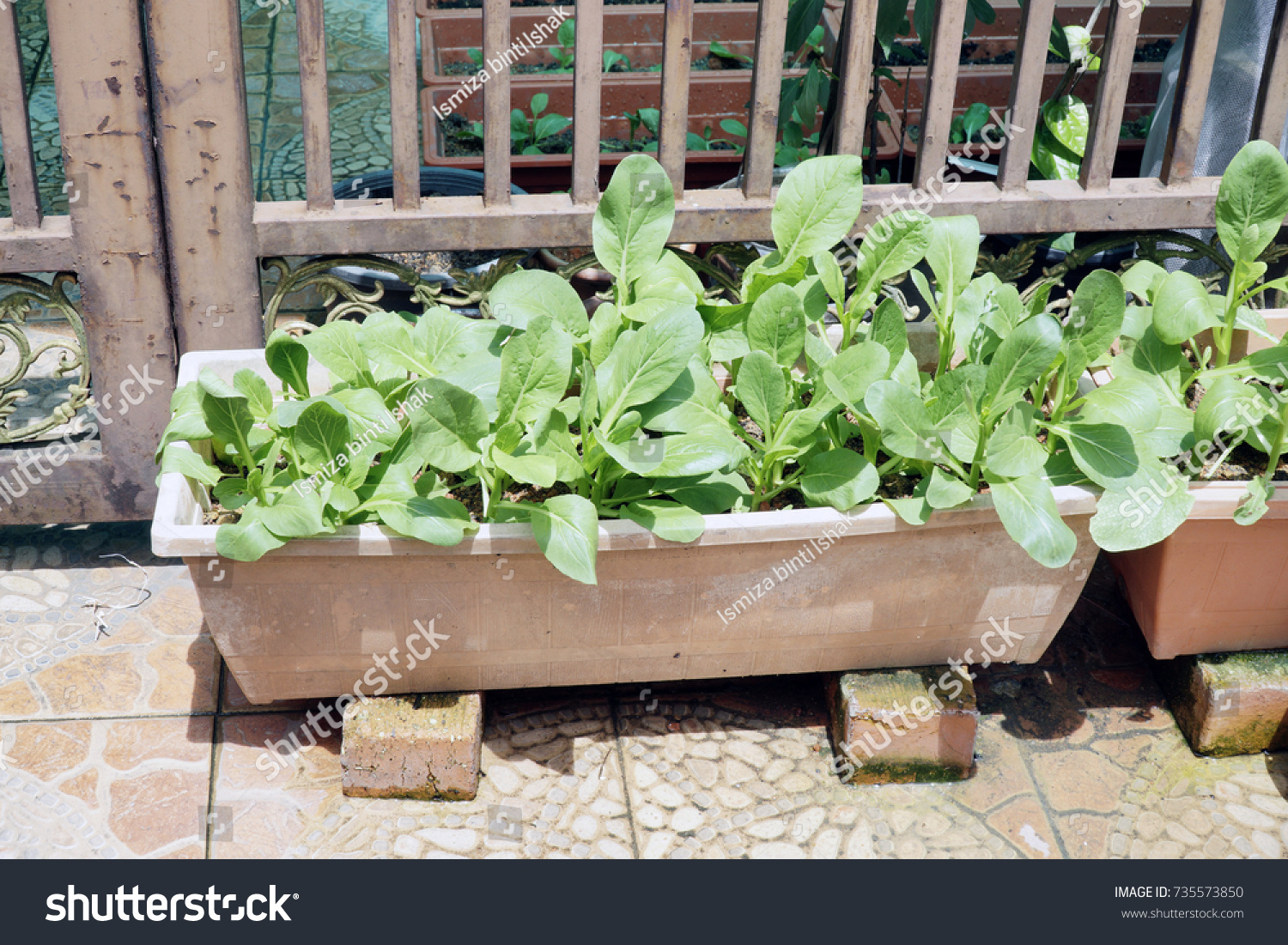 Vegetable From Backyard Garden, Plant In A Flowerpot To Save A Limited Space .