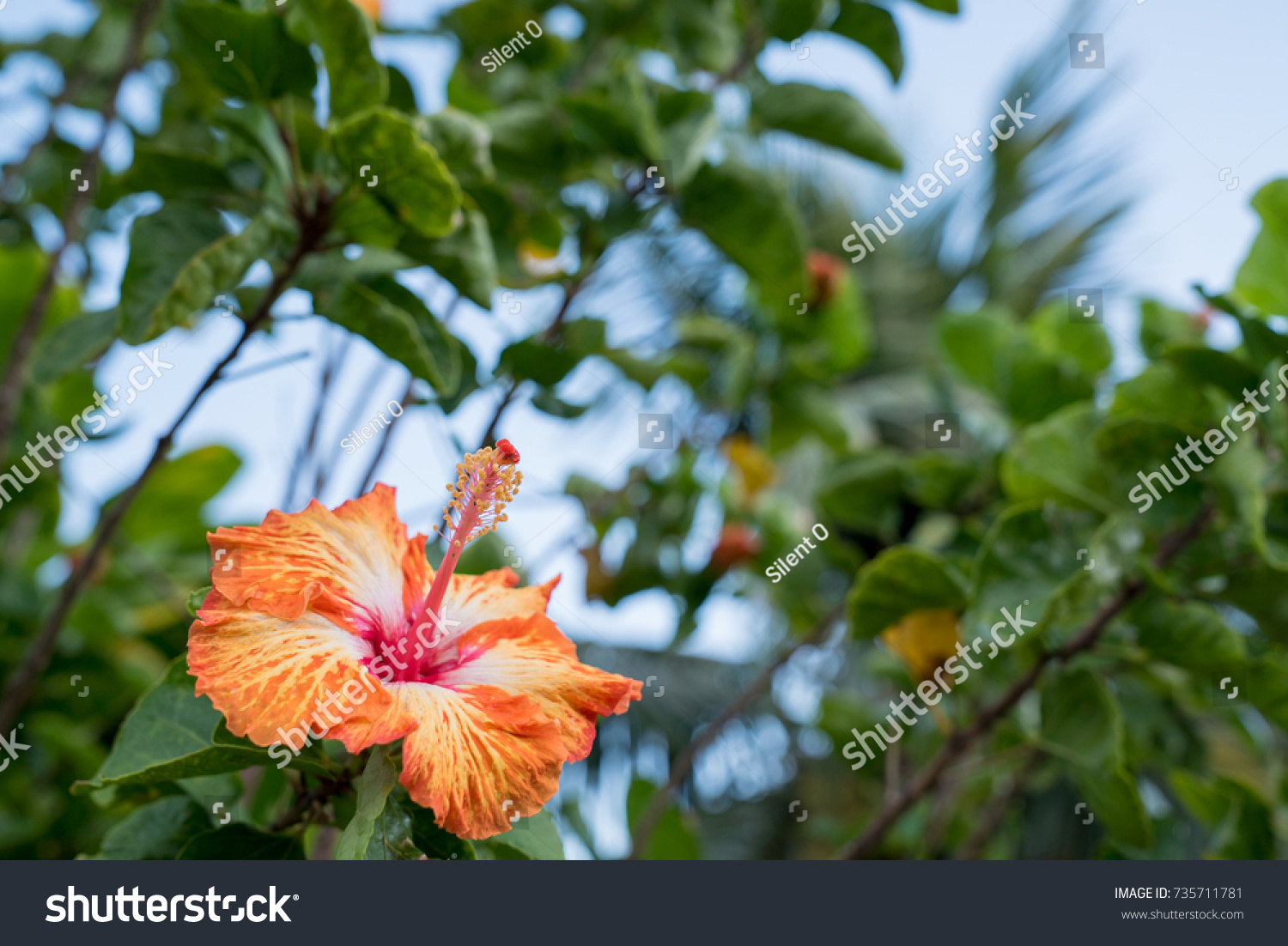 Rare Colored Variant Hibiscus Full Bloom Stock Photo (Royalty Free ...