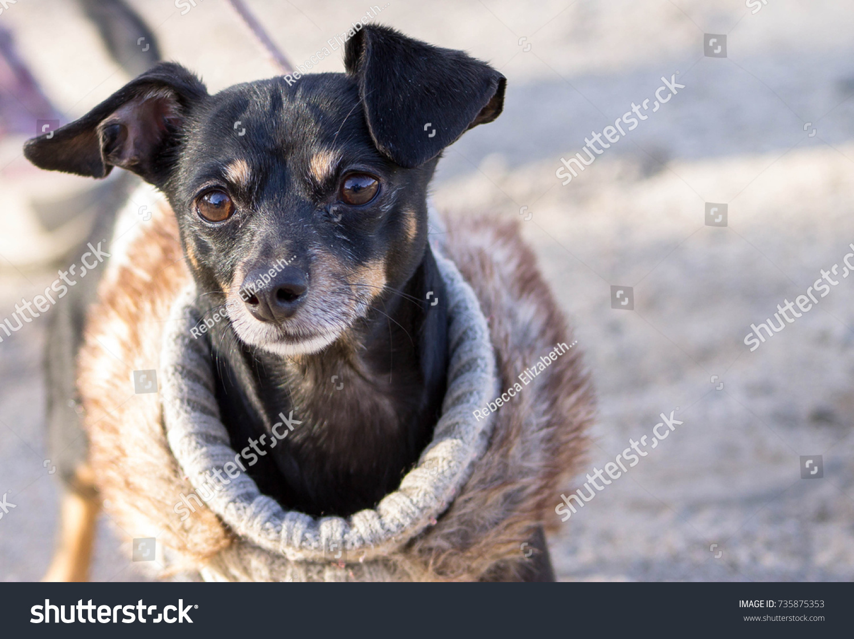 Posh Pup Stock Photo Edit Now 735875353 Shutterstock