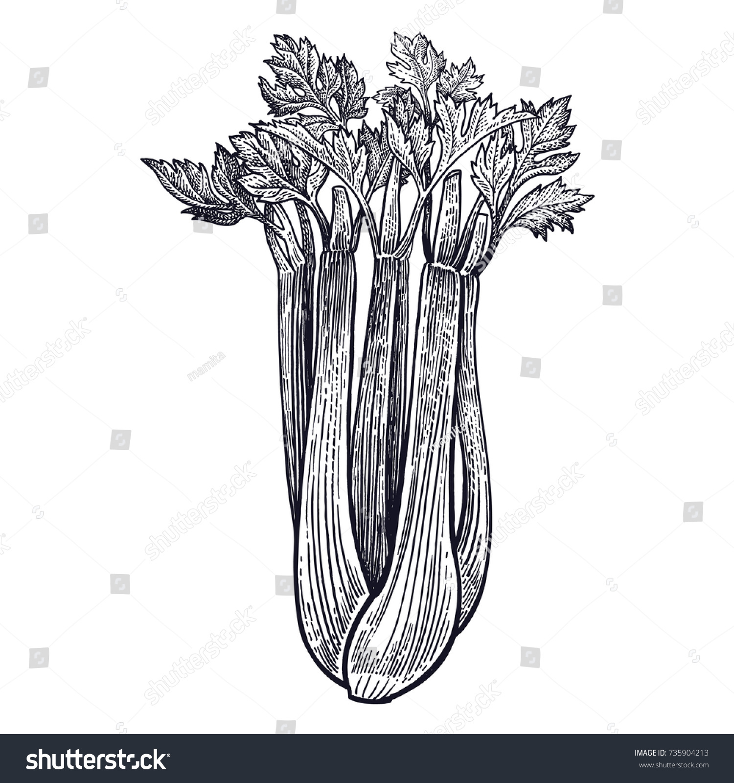 Celery plant isolated vegetarian food design vectores en stock vegetarian food for design menu recipes decoration kitchen items forumfinder Choice Image