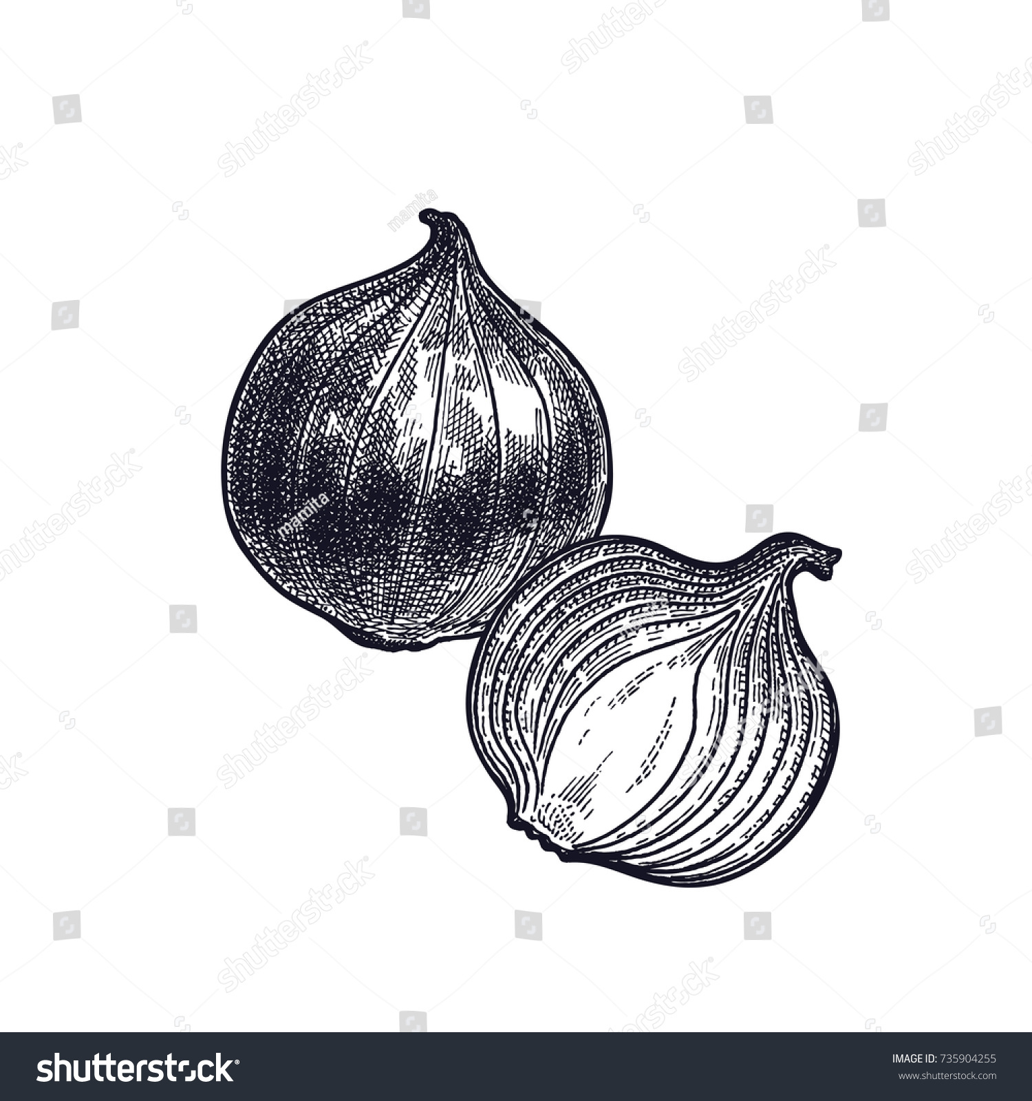 Bulb onions plant isolated vegetarian food vectores en stock vegetarian food for design menu recipes decoration kitchen forumfinder Choice Image