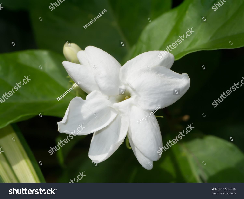 White of jasmine flower with green leaf ez canvas id 735947416 izmirmasajfo