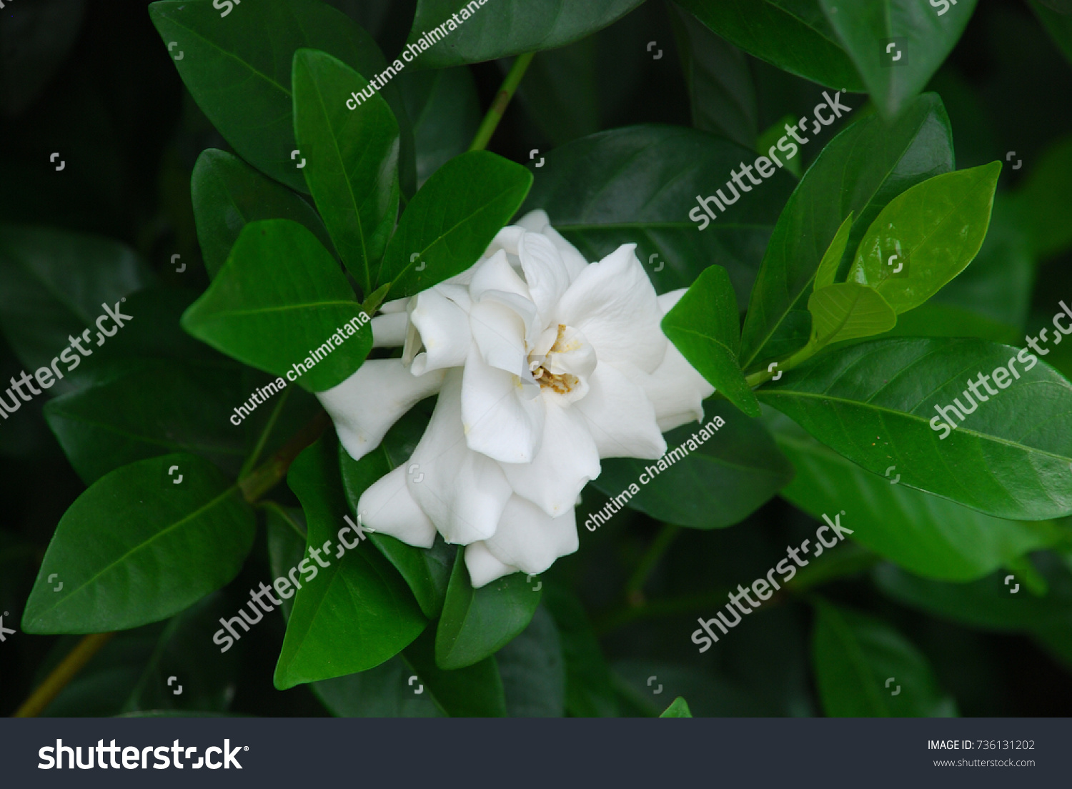 White Gardenia Flower With Green Leaves Or Cape Jasmine Tree Ez