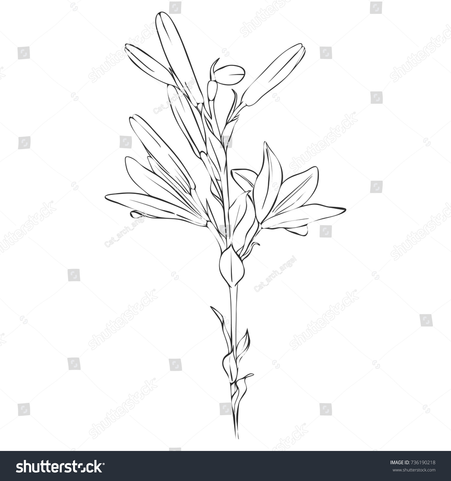 Vector Drawing Lily Flower And Buds Isolated Floral Element Hand