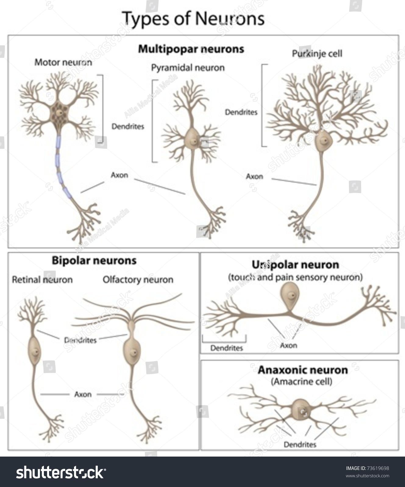 Types neurons em vetor stock 73619698 shutterstock ccuart Images