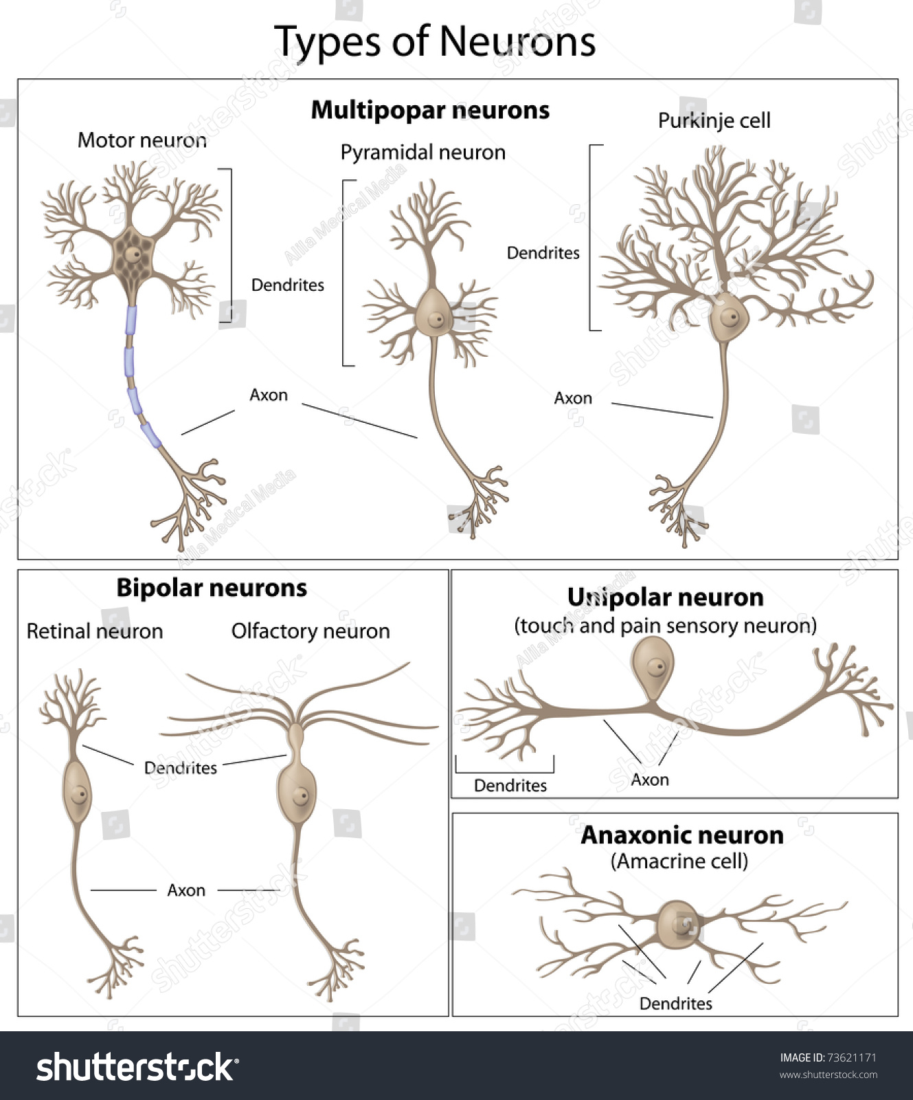 Types Neurons Stock Illustration 73621171 - Shutterstock