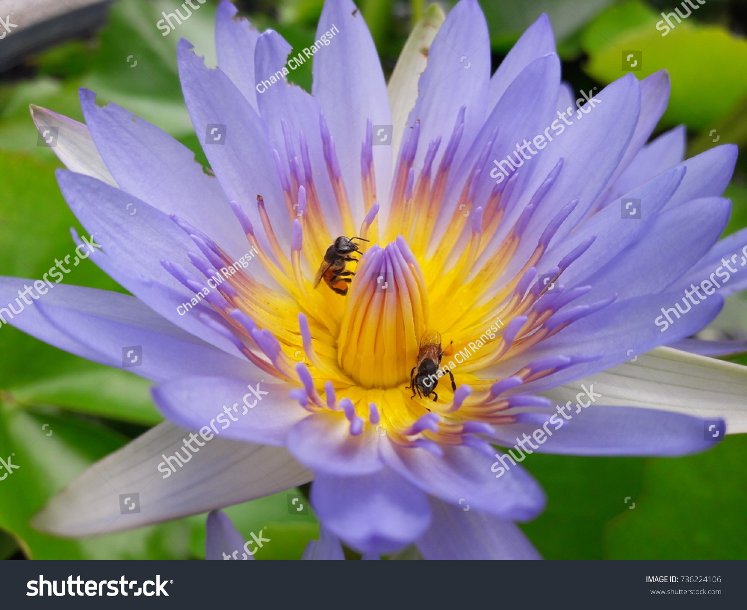Bees Eating Lotus Flowers Stock Photo Edit Now 736224106