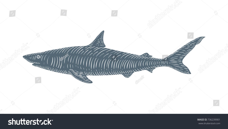 Uncategorized Drawn Shark hand drawn shark sketch engraved style stock vector 736239901 illustration