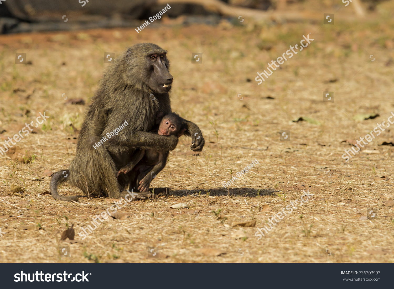 Baboon Baby Mole National Park Ghana Stock Photo Edit Now