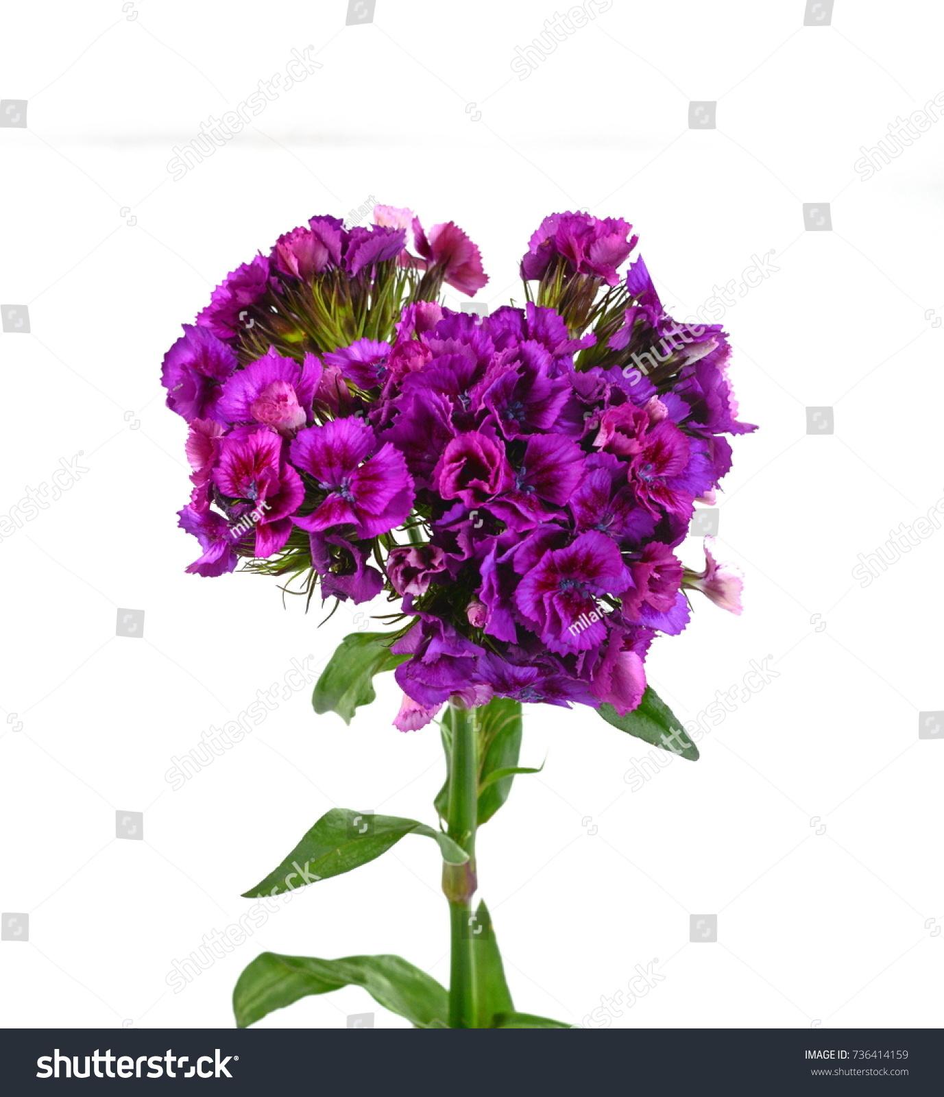 Dianthus Barbatus Sweet William Flower Isolated Stock Photo Edit