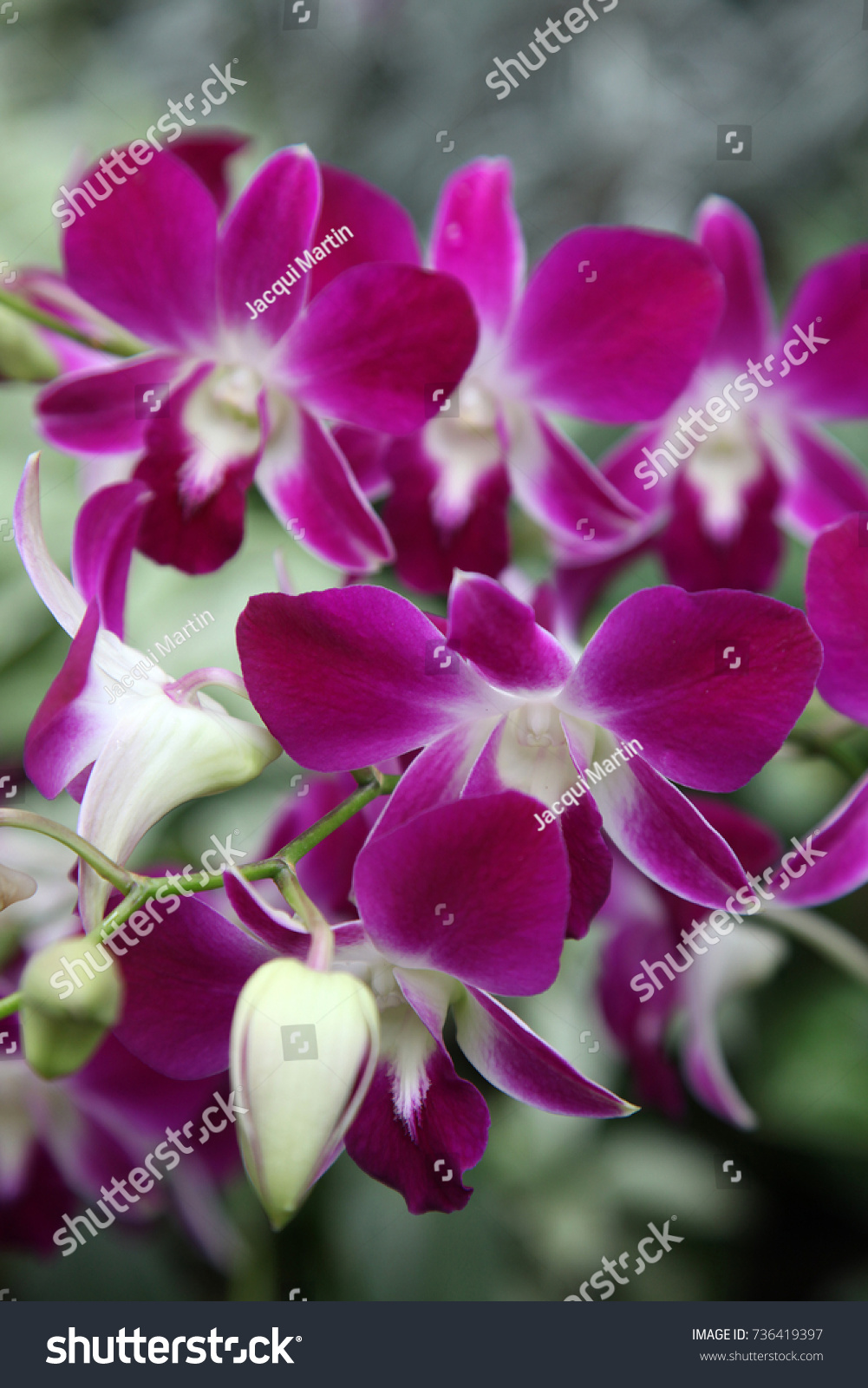 Beautiful Orchid Flowers In Garden In Singapore Ez Canvas