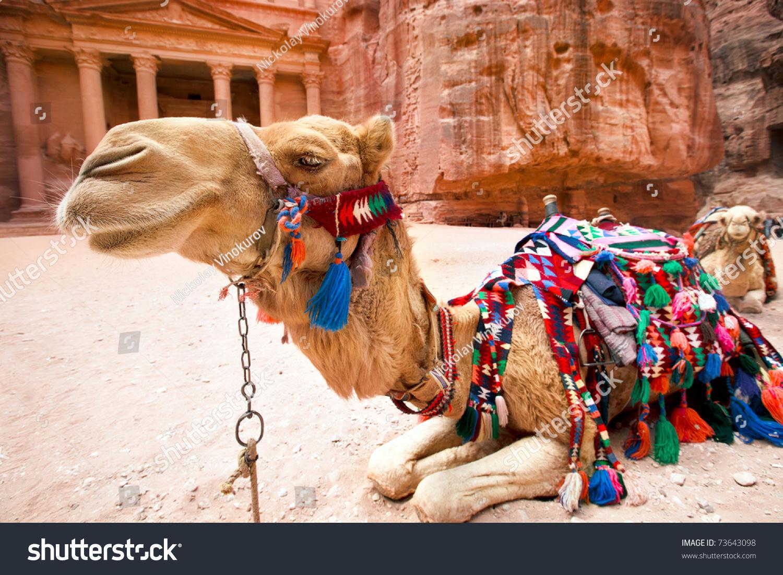 Bedouin camel rests near treasury al stock photo