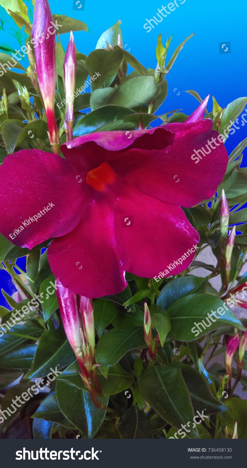 Red Mandevilla Vine Flower Stock Photo Edit Now 736458130