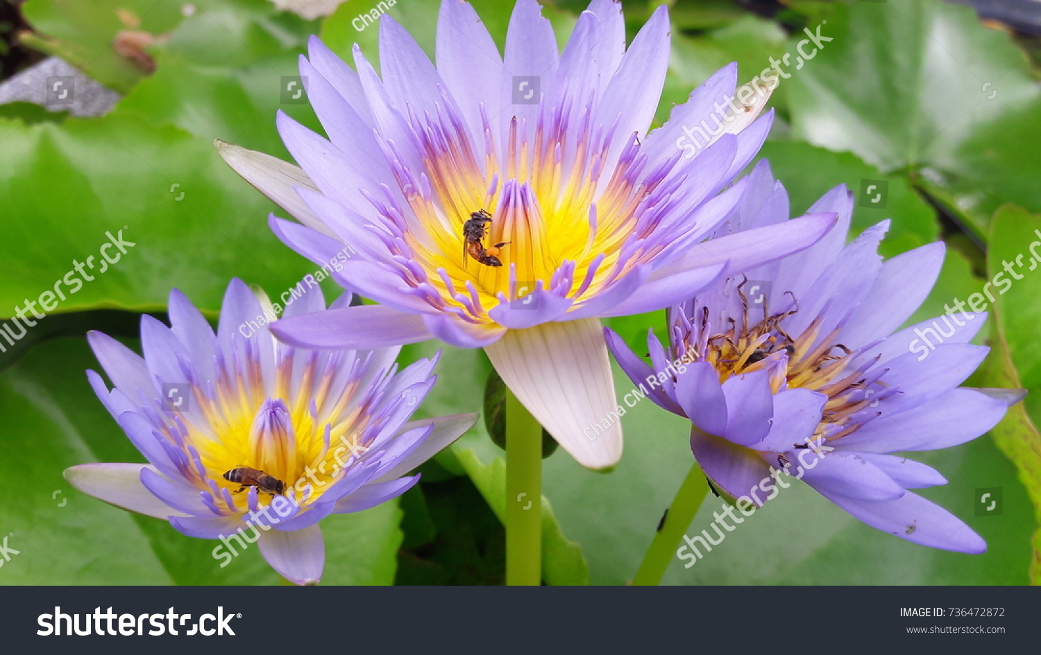 Bees eating lotus flowers stock photo 736472872 shutterstock bees are eating the lotus flowers mightylinksfo Choice Image
