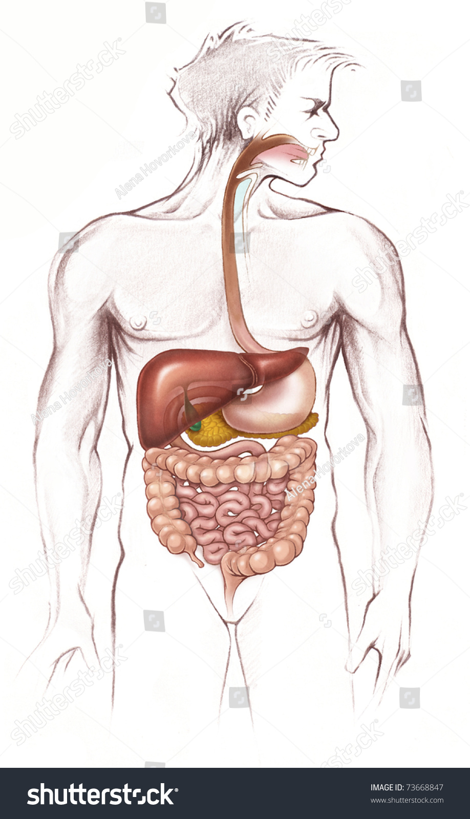 Digestive System Full Body Anatomy Simplified Stock Illustration