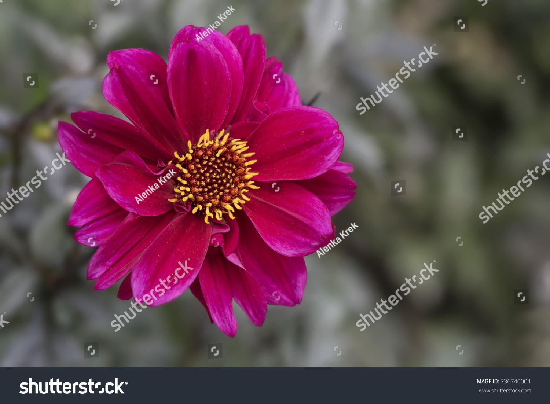 Closeup Bright Purple Red Dahlia Flower Stock Photo Edit Now