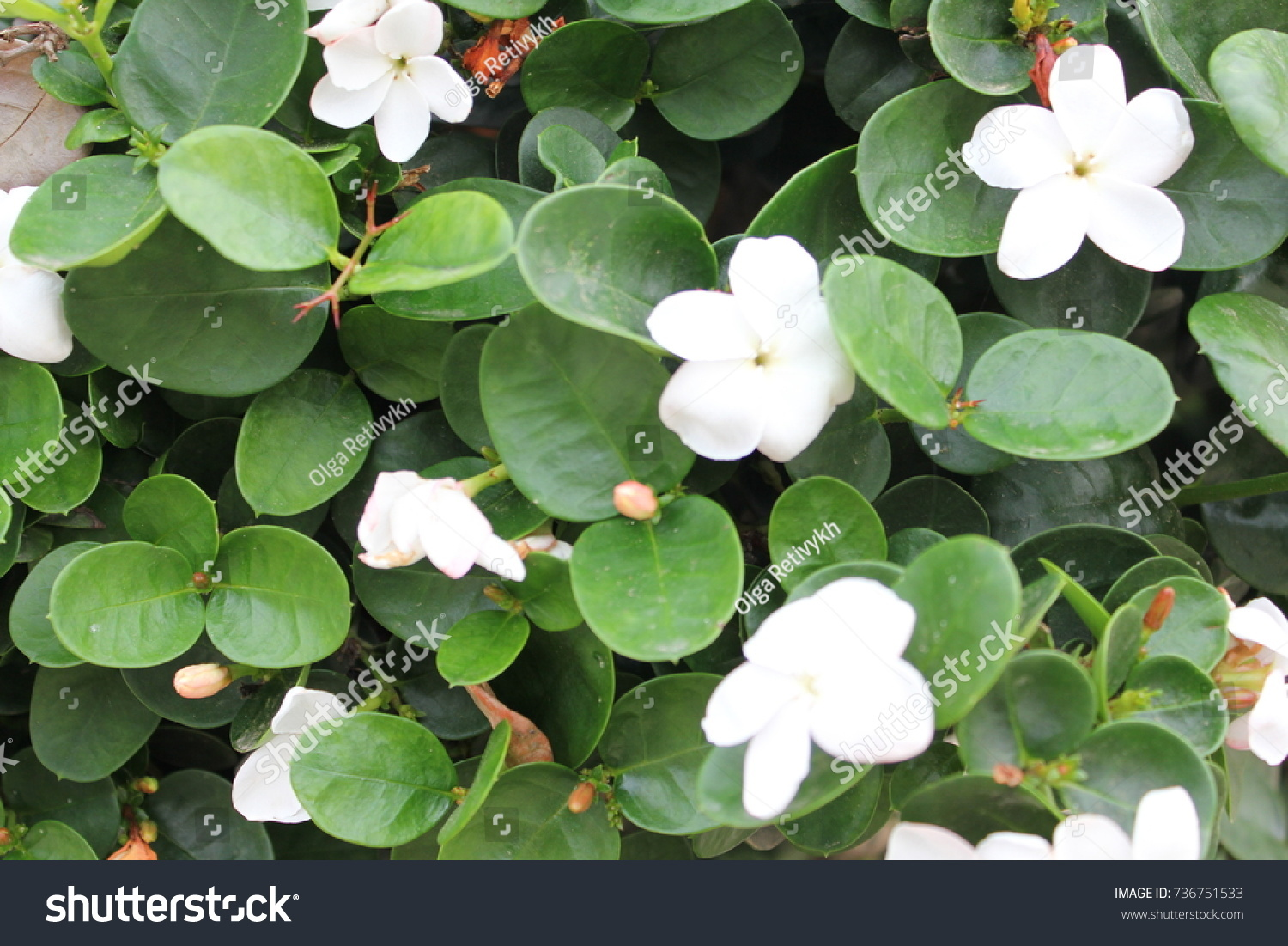 Green bush white flowers stock photo 736751533 shutterstock green bush with white flowers mightylinksfo Images
