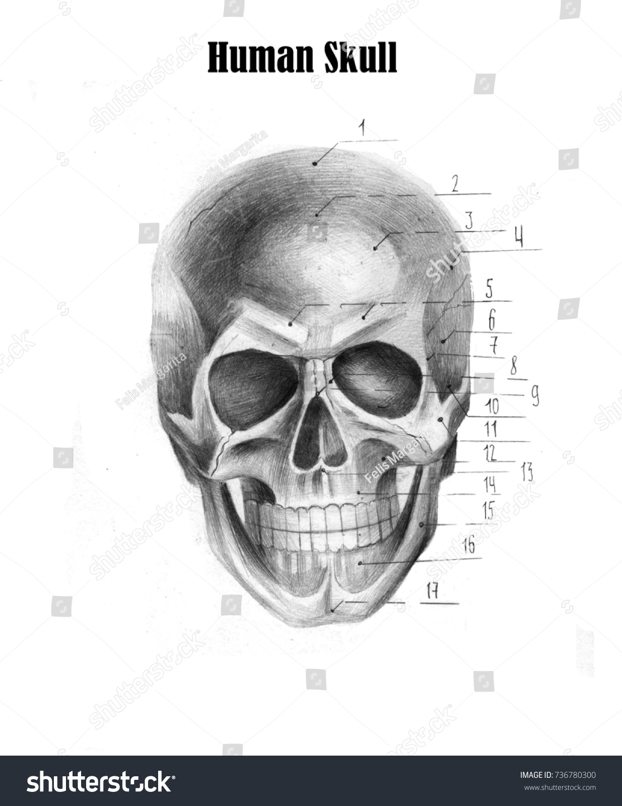 Human Skull Anatomy Medical Students Stock Illustration 736780300 ...