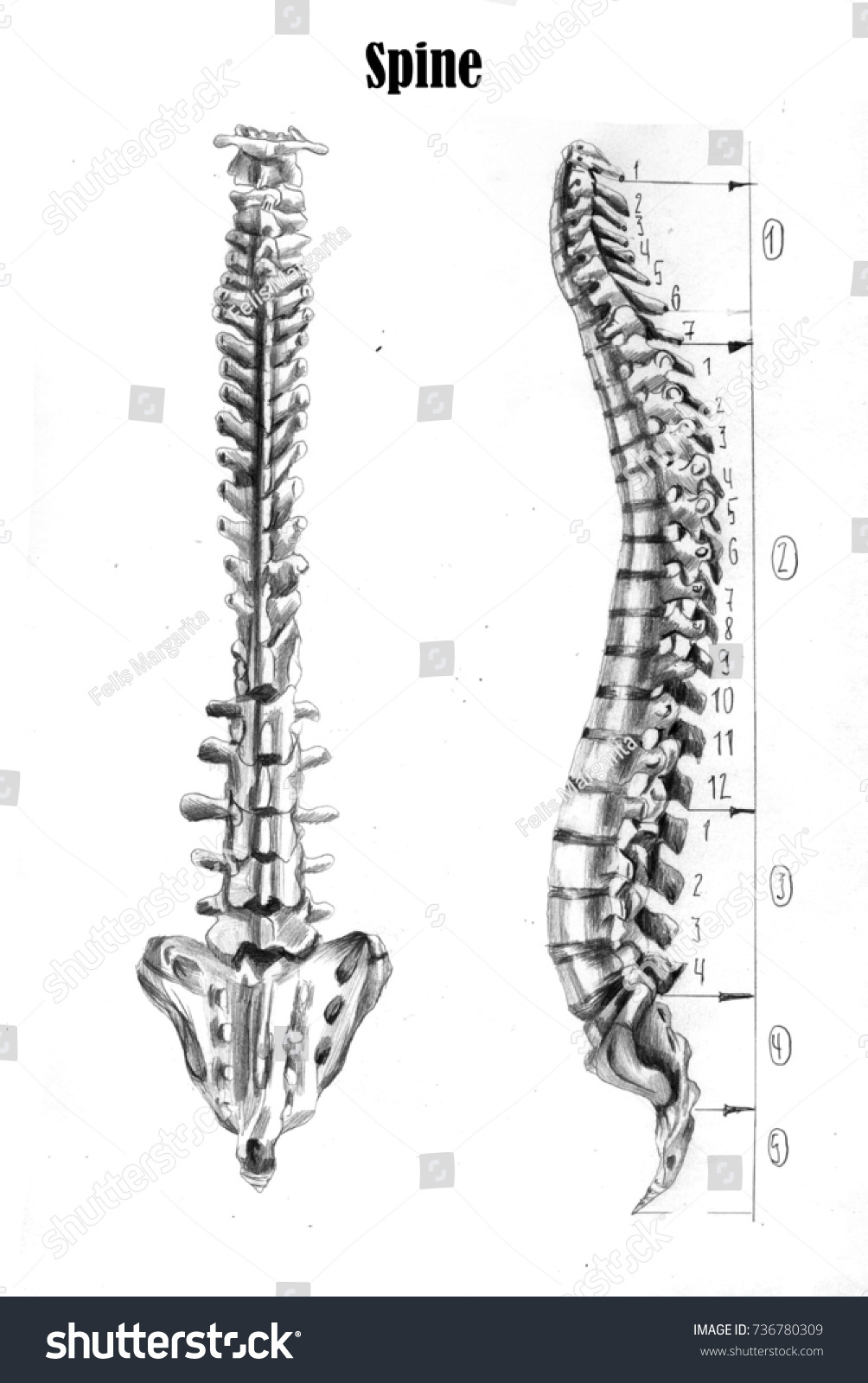 Human Spine Anatomy Medical Students Stock Illustration Royalty