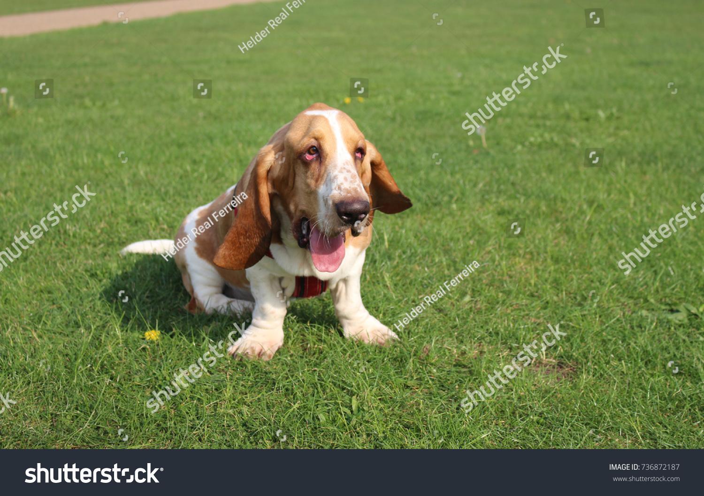 Funny Basset Hound Dog On Grass Stock Photo Edit Now 736872187