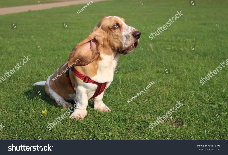 Funny Basset Hound Dog On Grass Stock Photo Edit Now 736872193